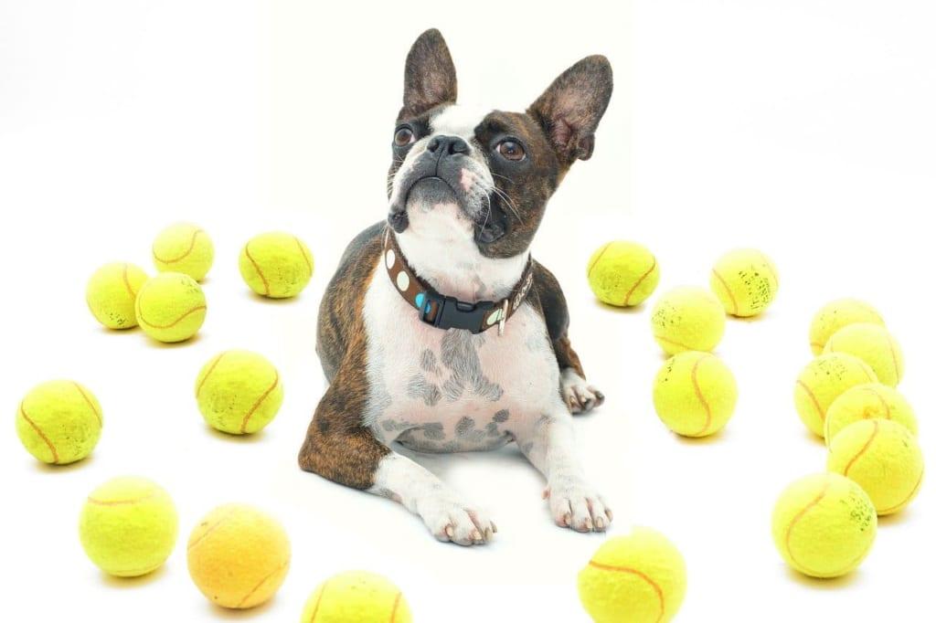 テニスボールに囲まれる犬